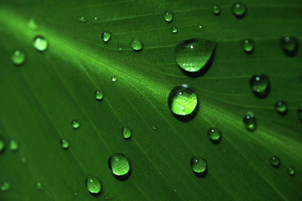 Photograph - Rain Drops On Green Leaf Macro 1 by Jenny Rainbow