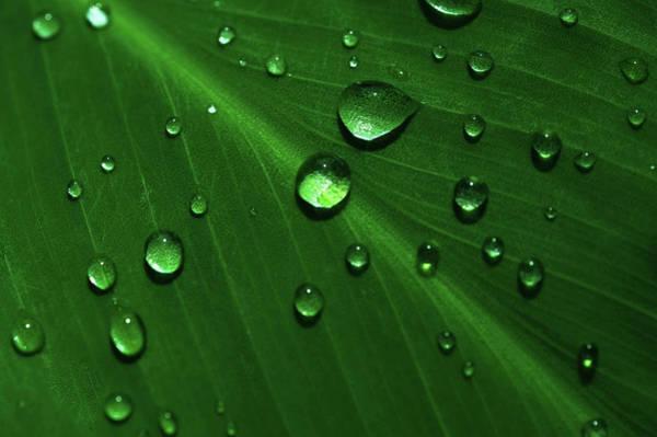 Photograph - Rain Drops On Green Leaf Macro 2 by Jenny Rainbow