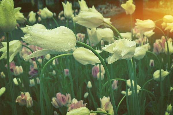 Photograph - Rain Drops On White Tulips by Michelle Calkins