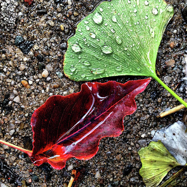 Photograph - Rain Enhanced Leaves by Cate Franklyn