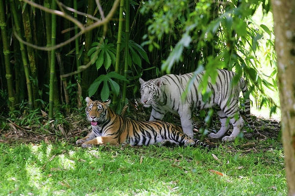 Photograph - Rain Forest Tigers by Anthony Jones