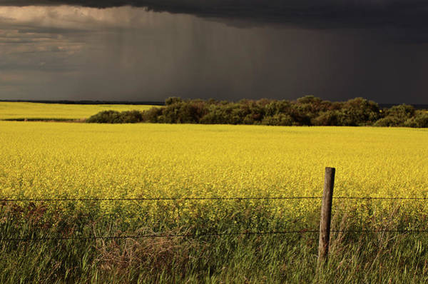 Flowering Trees Digital Art - Rain Front Approaching Saskatchewan Canola Crop by Mark Duffy