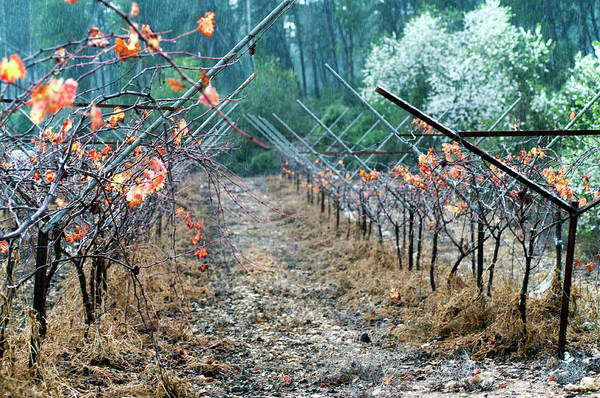 Photograph - Rain In The Vineyard by Dubi Roman