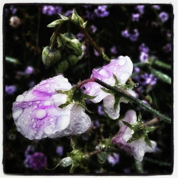 Photograph - Rain Kissed Petals. This Flower Art by Mr Photojimsf