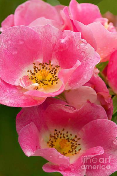 Rain-kissed Roses Art Print