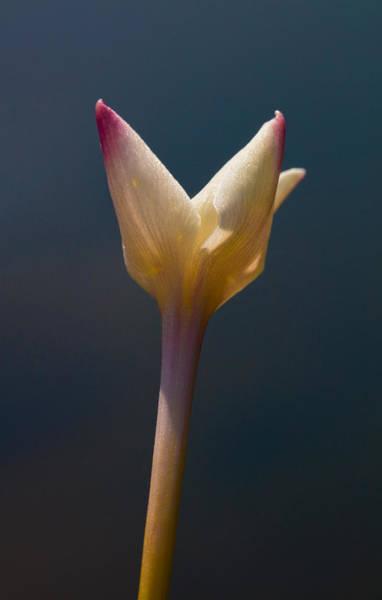 Photograph - Rain-lily By Pond by Steven Schwartzman