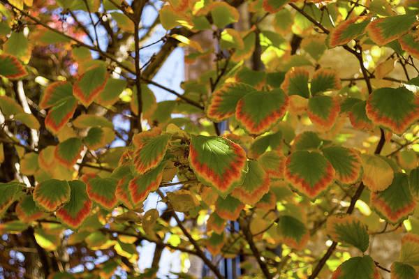 Photograph - Rainbow Edges - Slowly Changing Leaves Celebrating The Arrival Of Autumn by Georgia Mizuleva