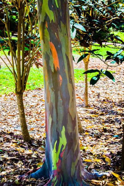 Photograph - Rainbow Eucalyptus 1 by Susan Molnar