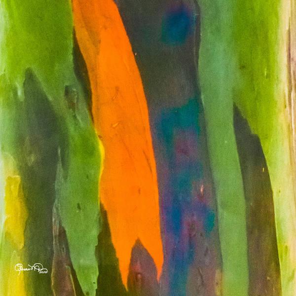 Photograph - Rainbow Eucalyptus 5 by Susan Molnar