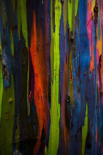 Photograph - Rainbow Eucalyptus  by Ryan Smith