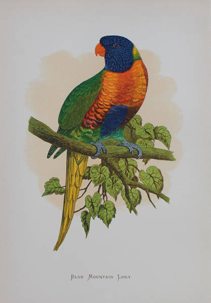 Blue Parrot Drawing - Rainbow Lorikeet - 1884 by Greene's Parrots