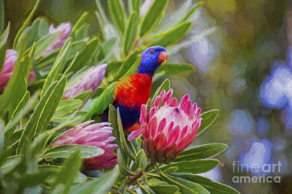 Wall Art - Photograph - Rainbow Lorikeet In Protea Bush by Sheila Smart Fine Art Photography