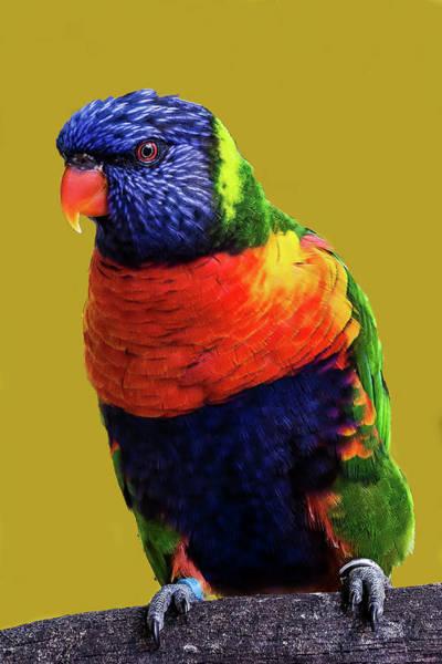 Photograph - Rainbow Lorikeet by Richard Goldman