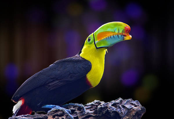 Keel-billed Toucan Photograph - Rainbow by Penny Pesaturo