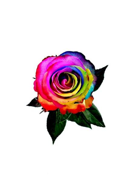 Photograph - Rainbow Rose  by Jennah Lenae