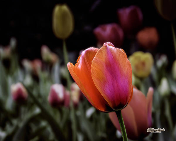 Photograph - Rainbow Tulip by William Havle