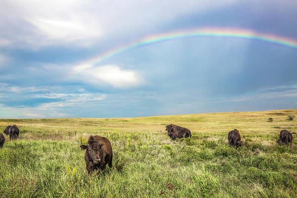 Tallgrass Wall Art - Photograph - Rainbows And Bison - Buffalo Under Rainbow In Oklahoma by Southern Plains Photography
