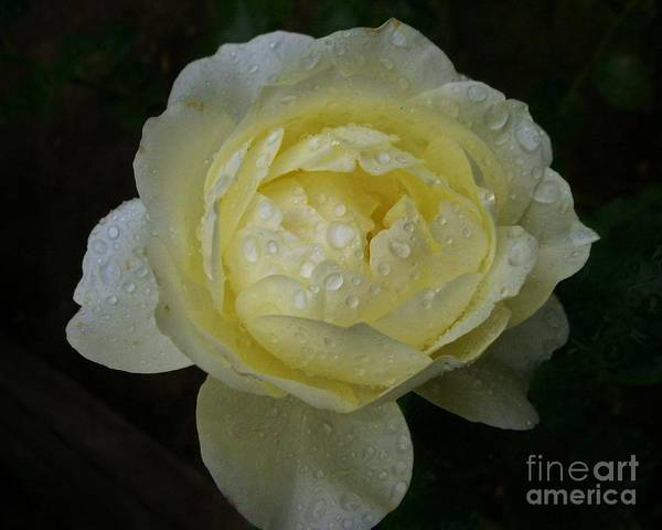 Photograph - Raindrops On A Pale Yellow Rose by Patricia Strand