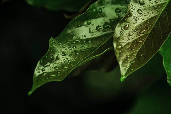 Gota Photograph - Raindrops On Avocado Leafs by Totto Ponce