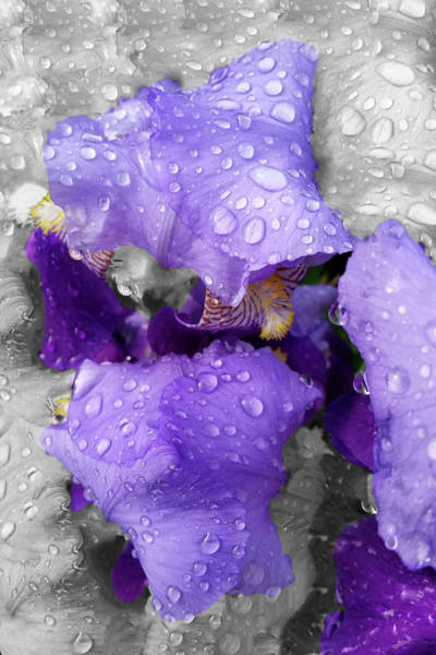 Purple Iris Mixed Media - Raindrops On Iris by Marinela Feier