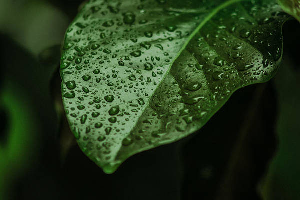 Gota Photograph - Raindrops On Leaf by Totto Ponce