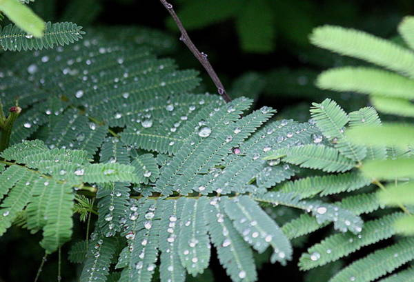 Photograph - Raindrops On Mimosa by Sheila Brown