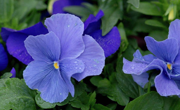 Photograph - Raindrops On Purple Pansy by E Faithe Lester