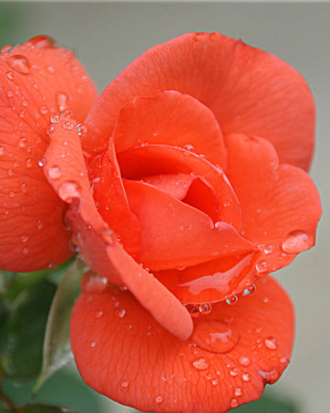 Photograph - Raindrops On Roses by Cricket Hackmann