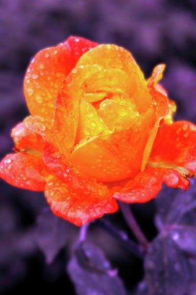 Raindrops On Roses Art Print