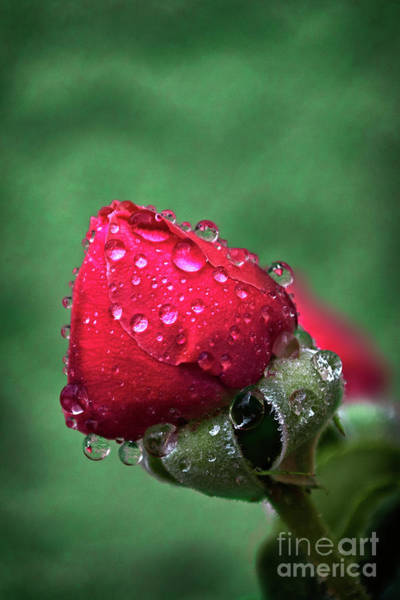 Photograph - Raindrops On Roses by Susan Warren