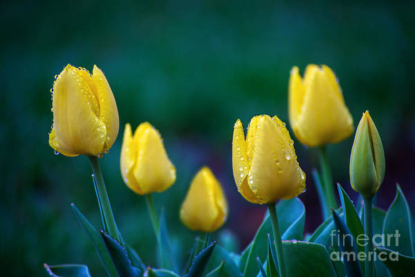 Photograph - raindrops on Tulips by Rima Biswas