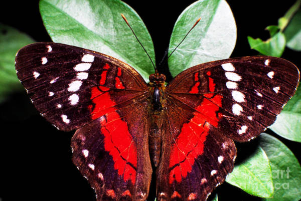 Photograph - Rainforest Butterfly Ecuador by Thomas R Fletcher