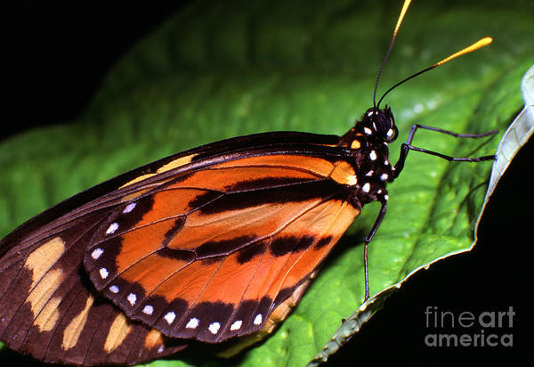 Photograph - Rainforest Butterfly by Thomas R Fletcher