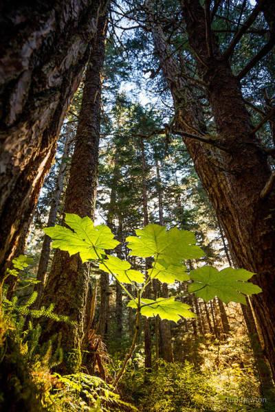 Photograph - Rainforest Devil's Club by Tim Newton