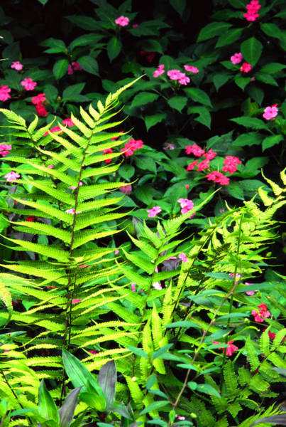 Photograph - Rainforest Ferns And Impatiens by Thomas R Fletcher