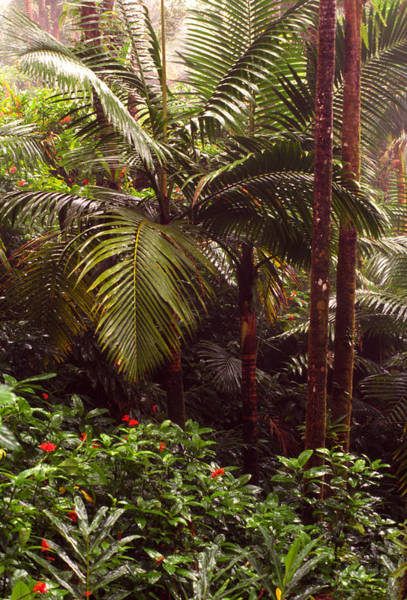 Photograph - Rainforest Palm Trees  by Thomas R Fletcher