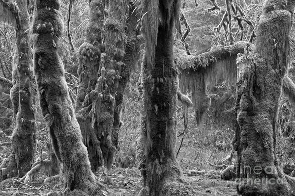 Photograph - Rainforest Trunks Black And White by Adam Jewell