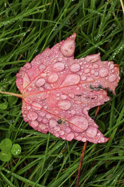 Wall Art - Photograph - Raining Leaf by Karol Livote
