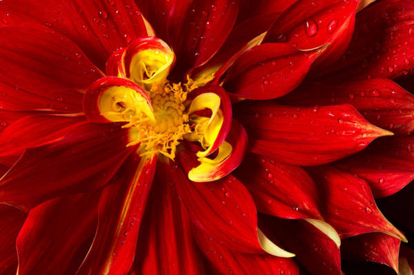 Photograph - Rainy Day Dahlia by Mary Jo Allen