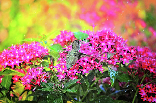 Photograph - Rainy Day Hummingbird by Lynn Bauer