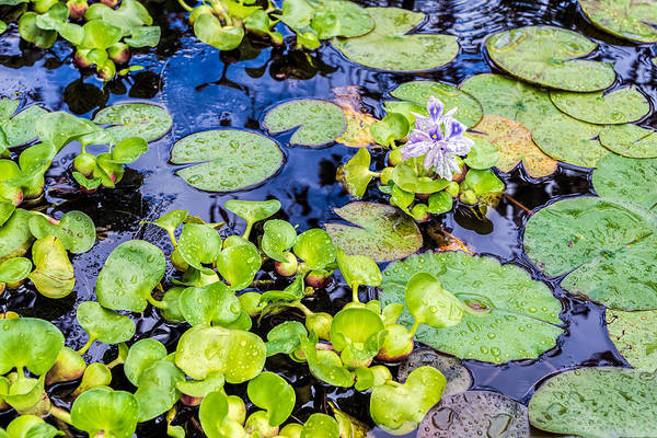 Photograph - Rainy Day In The Pond by Priya Ghose