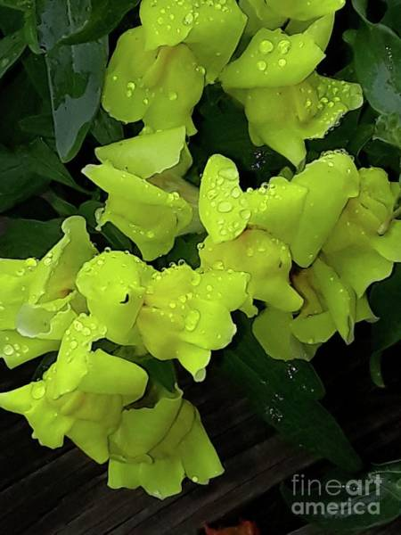 Snap Dragons Wall Art - Photograph - Rainy Day Snapdragons by Maxine Billings