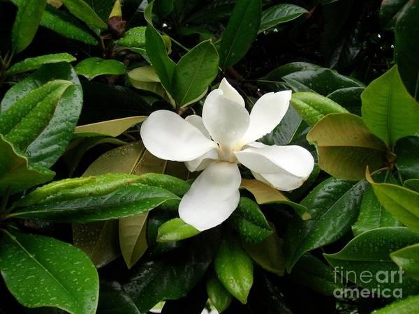 Photograph - Rainy Magnolia  by Tammie J Jordan