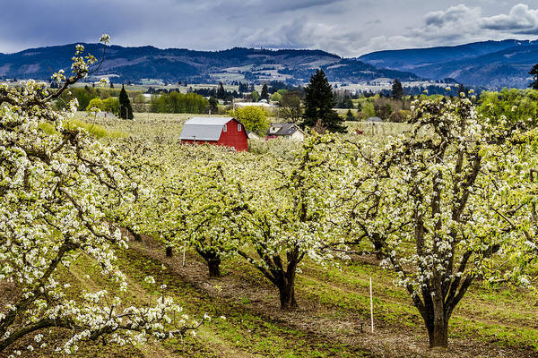 Photograph - Rainy Spring Day In The Orchard by Teri Virbickis
