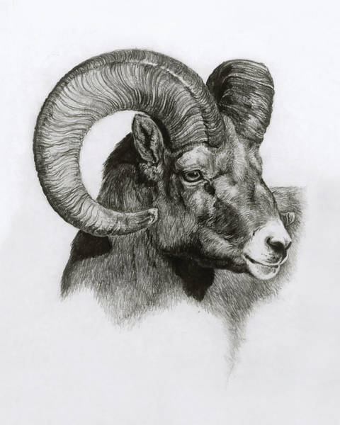 Bighorn Sheep Wall Art - Drawing - Ram by Heather Theurer