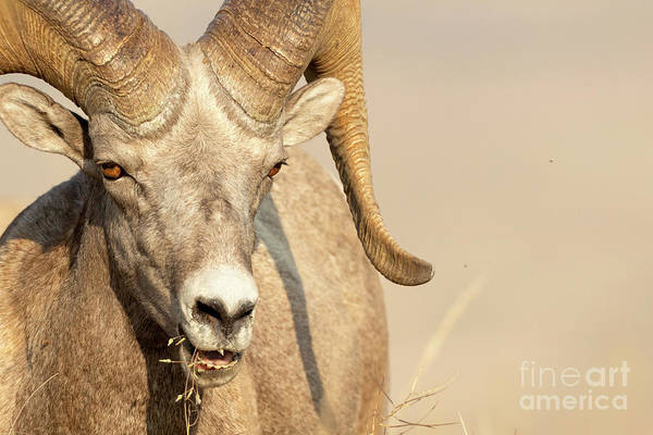 Photograph - Ram Tough by Beve Brown-Clark Photography