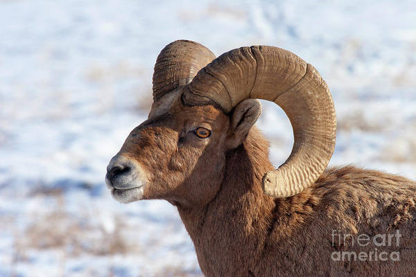 Wall Art - Photograph - Ram Tough by Mike Dawson