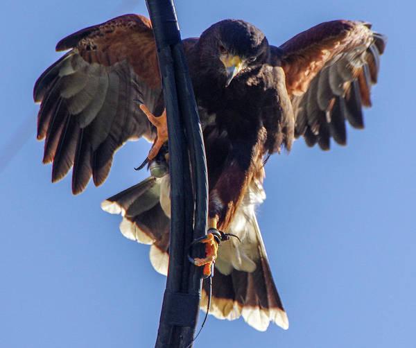 Photograph - Ramona Hawk 7 by Phyllis Spoor