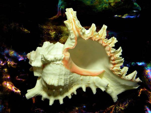 Photograph - Rams Horn Seashell by Frank Wilson