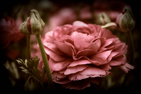 Photograph - Ranunculus In Bloom by Jessica Jenney